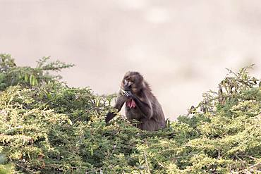 Gelada or Gelada baboon (Theropithecus gelada), eating fruit of acacia, Debre Libanos, Rift Valley, Ethiopia, Africa