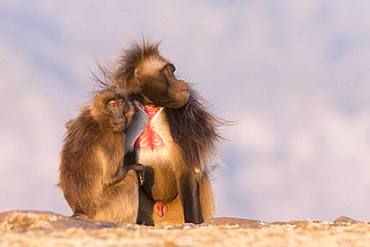 Gelada or Gelada baboon (Theropithecus gelada), dominant male, grooming with a female, Debre Libanos, Rift Valley, Ethiopia, Africa