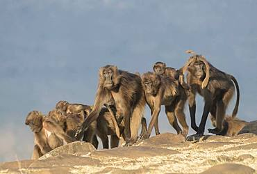 Gelada or Gelada baboon (Theropithecus gelada), group of females with babies, Debre Libanos, Rift Valley, Ethiopia, Africa