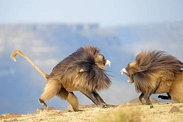 Gelada or Gelada baboon (Theropithecus gelada), fight between two males, Debre Libanos, Rift Valley, Ethiopia, Africa