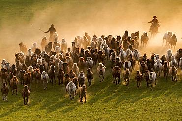 Mongolians horsemen, lead a troop of horses running in a group in the meadow, Bashang Grassland, Zhangjiakou, Hebei Province, Inner Mongolia, China