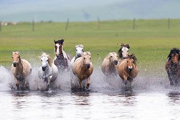 Horses running in a group in the water, Bashang Grassland, Zhangjiakou, Hebei Province, Inner Mongolia, China