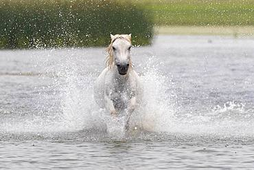 Horse running in the water, Bashang Grassland, Zhangjiakou, Hebei Province, Inner Mongolia, China