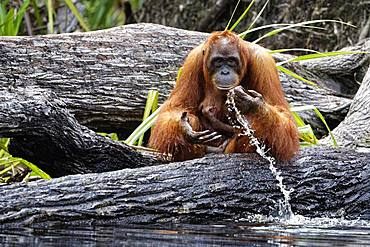 Orang utan (Pongo pygmaeus) with young, Tanjung Puting, Kalimantan, Indonesia