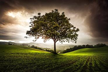 Walnut tree between the hills, Langhirano, Emilia-Romagna, italy