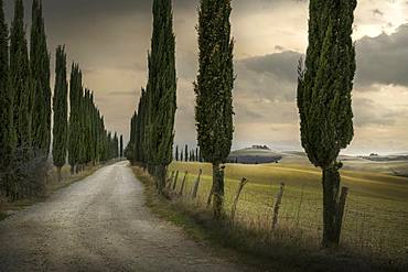 Cypres tree-lined avenue, road to the farmhouse, Asciano, Siena, Tuscany, Italy