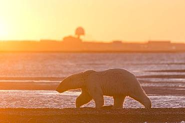 Polar Bear( Ursus maritimus ) walking along a barrier island outside Kaktovik, Every fall, polar bears (Ursus maritimus) gather near Kaktovik on the northern edge of ANWR, Barter Island, Arctic National Wildlife Refuge, Alaska