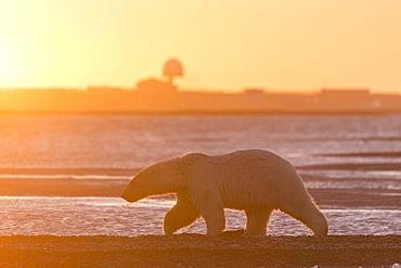 Polar Bear( Ursus maritimus ) walking along a barrier island outside Kaktovik, Every fall, polar bears (Ursus maritimus) gather near Kaktovik on the northern edge of ANWR, Barter Island, Arctic National Wildlife Refuge, Alaska