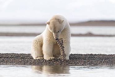 Polar Bear( Ursus maritimus ), along a barrier island outside Kaktovik, Every fall, polar bears (Ursus maritimus) gather near Kaktovik on the northern edge of ANWR, Barter Island, Arctic National Wildlife Refuge, Alaska