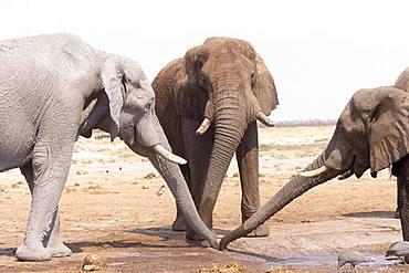 African bush elephant or African savanna elephant (Loxodonta africana), near the water hole, Savuti National Park, Bostwana