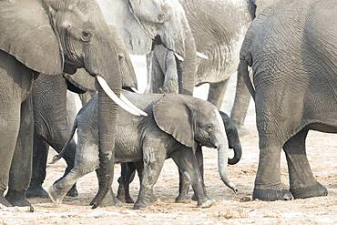 African bush elephant or African savanna elephant (Loxodonta africana), near the Chobe river, Chobe river, Chobe National Park, Bostwana