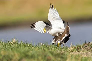 African wattled lapwing (Vanellus senegallus), also known as the Senegal wattled plover or simply wattled lapwing, mating, Chobe river, Chobe National Park, Bostwana