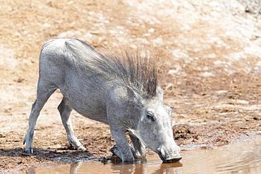 Warthog (Phacochoerus africanus) drinking, Savuti National Park, Bostwana