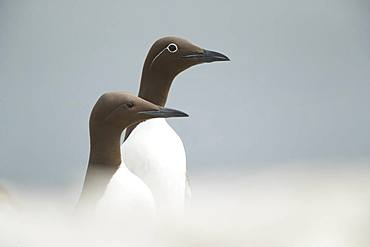 Common Murre / Guillemot (Uria aalge). A Bridled and normal Guillemot sits along the cliff edges in Northumberland, UK.