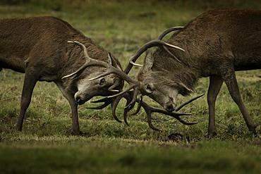 Red Deer (Cervus elaphus). Two Red Deer Stags rut in the Peak District National Park, UK.