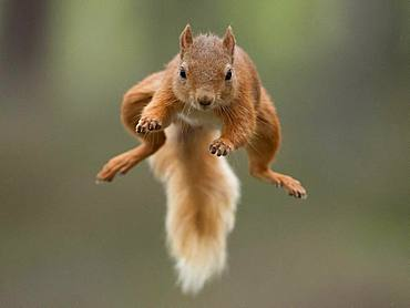 Red Squirrel (Sciurus vulgaris). A Red Squirrel bounds across a gap in the Cairngorms National Park, UK.