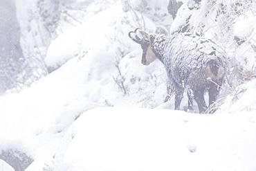 Alpine chamois (Rupicapra rupicapra), first snow in autumn, Vosges, France