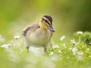 A Mallard (Anas platyrhynchos) duckling waddles through daisies on a riverbank in the Peak District National Park, UK.