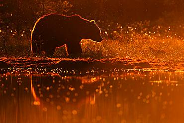 Brown Bear (Ursus arctos) against the light in the late afternoon in front of a water point in summer, Finland