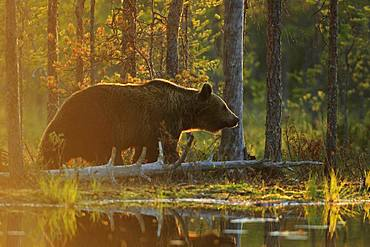 Brown Bear (Ursus arctos) skirting a waterhole against the sky, Finland