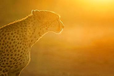 A Cheetah (Acinonyx jubatus) walks into the light in the Maasai Mara, Kenya.