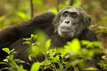 Chimpanzee (Pan troglodytes) rests in the rainforests of Africa.