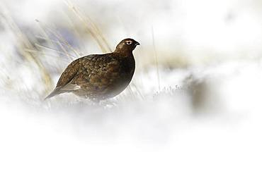 A Red Grouse (Lagopus lagopus scotica) rests in the snow in the Peak District National Park, UK.