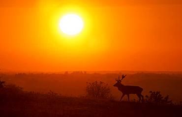 Red deer (Cervus elaphus) stag walking in a meadow at sunset, England