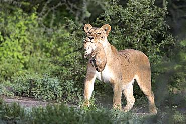 Lion (Panthera leo), cub, Africa, Serengeti, Ngorongoro Conservation Area