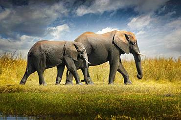 Always drive me in my journey. Two elephants walking in the savannah Chobe National Park Botswana