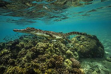 Tara Pacific expedition - november 2017 Saltwater crocodile (Crocodylus porosus) on a small reef, near Garua Island, Kimbe Bay, Papua New Guinea,