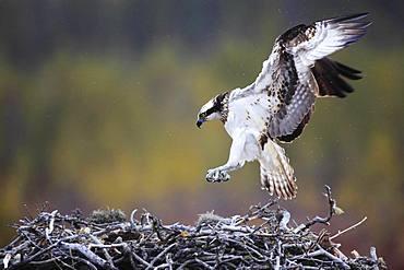 Osprey (Pandion haliaetus) arriving on his nest