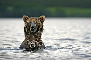 Kamchatka brown Bear (Ursus arctos beringianus) bear wirh her cub in water, Kamchatka, Russia