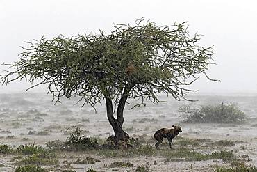 Wild dog (lycaon pictus) protecting from the rain under a tree in the savannah, Serengeti, Tanzania