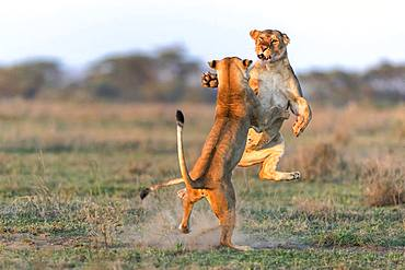Lion (Panthera leo) lionesses fighting, Ngorongoro Conservation Area, Serengeti, Tanzania
