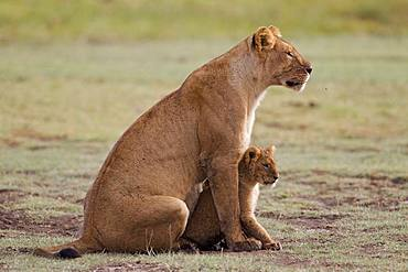 Lion (Panthera leo) lioness with cub, Ngorongoro Conservation Area, Serengeti, Tanzania