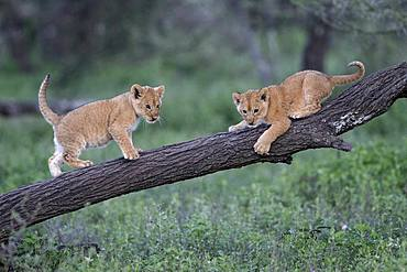 Lion (Panthera leo) cubs, Ngorongoro Conservation Area, Serengeti, Tanzania