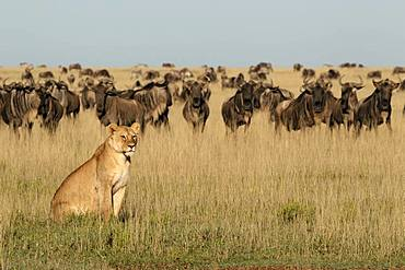 Lion (Panthera leo) lioness in front of a wildebeest (Connochaetes taurinus) herd, Ngorongoro Conservation Area, Serengeti, Tanzania
