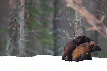Wolverine (Gulo gulo) mating in the snow in the boreal forest