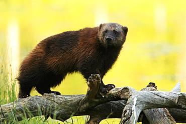 Wolverine (Gulo gulo) on old pine branches