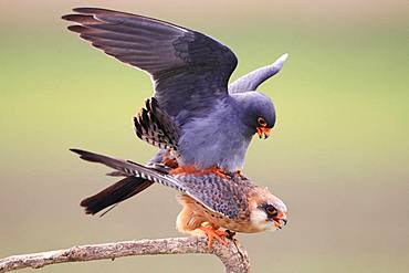 Red-footed Falcon (Falco vespertinus) mating on a branch