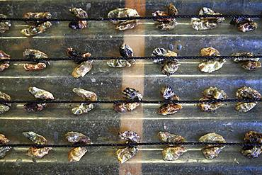 Oyster spat at an oyster farmer, Etang de Thau, France