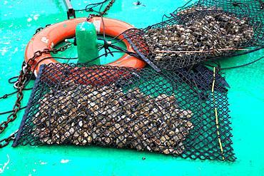 Bag of oysters from Bouzigues, Etang de Thau, France