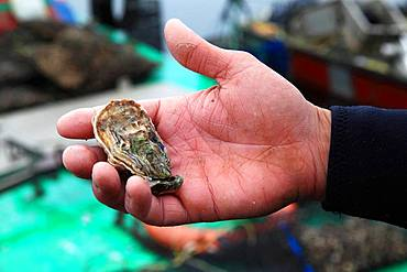 Oyster of Bouzigues in the hand of an oyster farmer, Etang de Thau, France