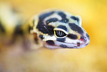 Leopard Gecko (Eublepharis macularius) young in a terrarium, France