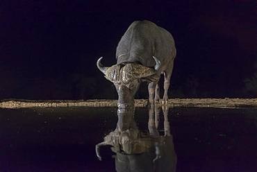 African Buffalo (Syncerus caffer) drinking at the water's edge at night, KwaZulu-Natal, France