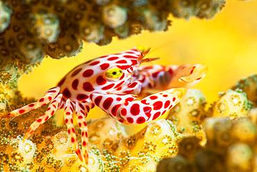 A small Red-Spotted Guard Crab (Trapezia tigrina) keeper of the corals of the bateau pass, Mayotte