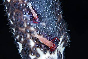 Couple of Imperial Shrimp (Periclimenes imperator) on a blue sea cucumber (Actinopyga caerulea) 76 meters deep, Mayotte