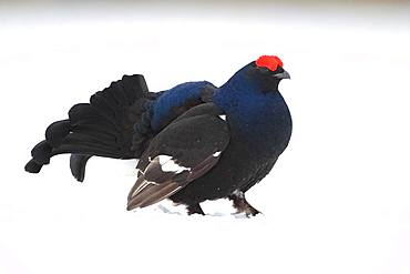 Black grouse (Lyrurus tetrix) displaying in lek in a snowy bog