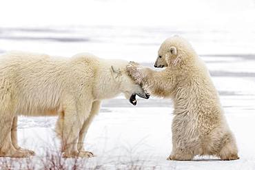 Polar bear (Ursus maritimus), Female bear playing with her cub. Churchill, MB, Canada.